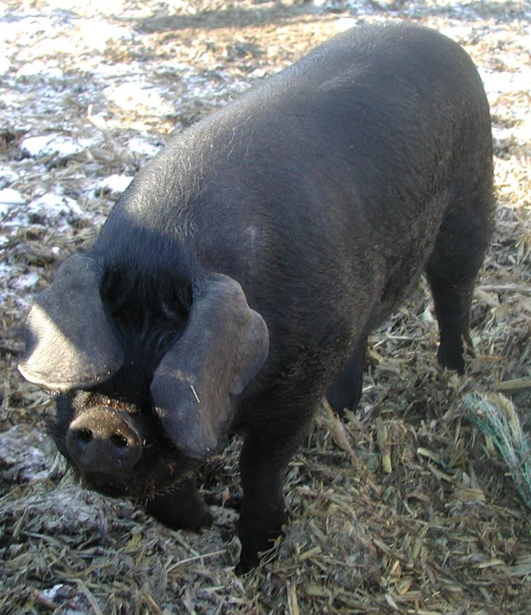 A Large Black pig with the floppy ears that are characteristic of the breed